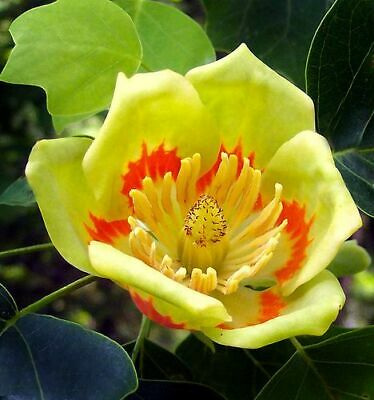 $54.99 • Buy Tulip Poplar Tree Liriodendron Tulipifera Well-Branched 3 Gal Size
