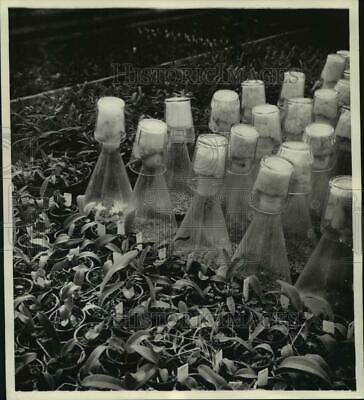 £14.52 • Buy 1955 Press Photo Orchid Plants Both New (growing In Flasks) And A Year Old