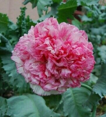 £1.50 • Buy Papaver Poppy Flemish Antique Pink Peony Seeds - 200 Seeds Approx