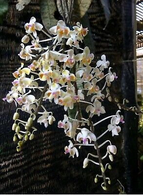 AU85 • Buy Orchid Species Phalaenopsis Celebensis - RARE PLANT WITH MOTTLED LEAVES!!!