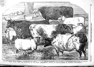 £17 • Buy Original Old Antique Print 1854 Prize Cattle Royal Agricultural Society Lincoln