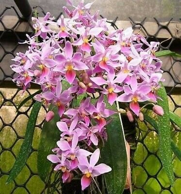 AU69 • Buy Orchid Species Phalaenopsis Equestris - WITH DOUBLE SPIKES!!!