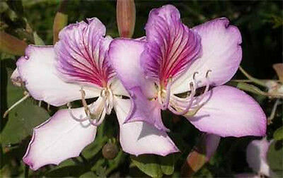 AU3 • Buy Bauhinia Variegata Purpurea - Purple Orchid Tree - 15 Seeds