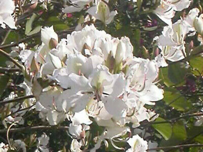 AU3.25 • Buy Bauhinia Variegata Candida Syn B. Alba - White Orchid Tree - 15 Seeds
