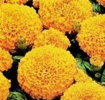 Marigold African - Marvel Orange - 20 Seeds • 1.25£
