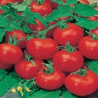 TOMATO F1 SHIRLEY GREENHOUSE CROPS 10 To 100 Seed MULTIPLE LISTING FREEPOST • 1.65£