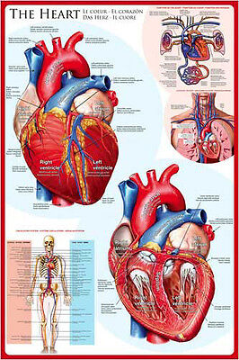 $16.19 • Buy THE ANATOMY OF THE HUMAN HEART Medical Science Educational Wall Chart POSTER