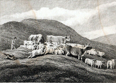 £25 • Buy COWS AND SHEEP 1801 Samuel Howitt  ANTIQUE ETCHING