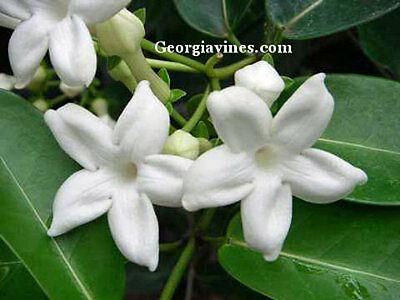 $14.94 • Buy Stephanotis Floribunda Madagascar Jasmine 10 Seeds