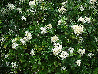 $4.99 • Buy Murraya Paniculata - ORANGE JASMINE -EXTREMELY FRAGRANT FLOWERS - Seeds!