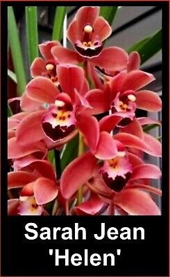 AU12 • Buy OoN Cymbidium Orchid Sarah Jean 'Helen'  (M3403) The Red Sarah Jean  68mm Pot