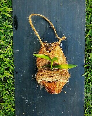 £6.22 • Buy Natural Orchid Tropical Plant Hanger Making Natural Coconut Shell Husk 1 Pc
