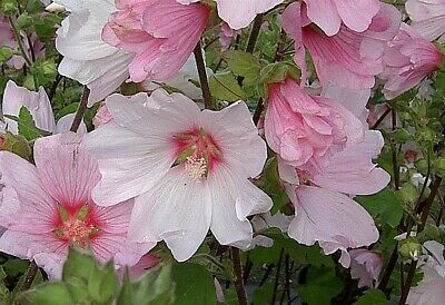 £16.49 • Buy LAVATERA BARNSLEY PLANT IN 2lt POT SHRUB, RED/PINK FLOWERS, TREE MALLOW