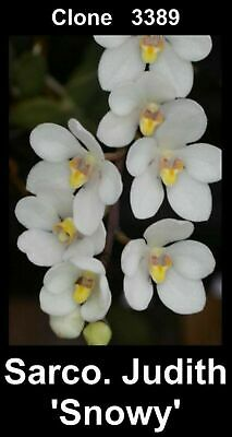 AU25 • Buy OoN Sarcochilus Clone 3389 Judith 'Snowy' Orchid InSPIKE With 1 SPIKE 80mmP