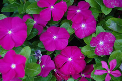 AU3.10 • Buy Vinca Pacifica Deep Orchid Seeds X 50 Annual Long Flowering Low Maintenance