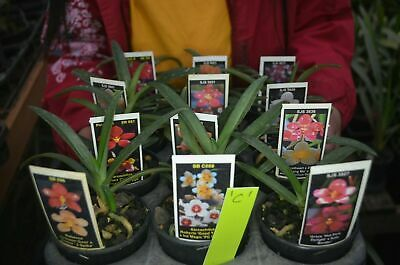 AU150 • Buy OoN 12 Assorted 80mm Sarcochilus Orchids Picked,Ready To Go