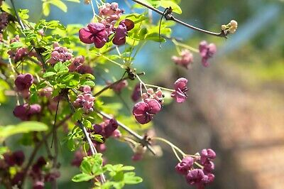 £12 • Buy CHOCOLATE VINE - Akebia Quinata Climber Plant Grown In 10cm Pot With Trellis