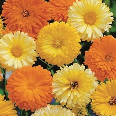 £1.35 • Buy Calendula Art Shades Mixed - Kings Seeds Pictorial Pack -  200 Seeds
