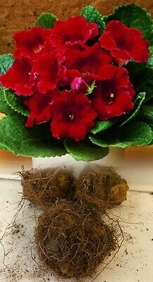 £125.50 • Buy 6 Gloxinia (sinningia) Defiance Red Tuberous Bulbs/corms Indoor Plant