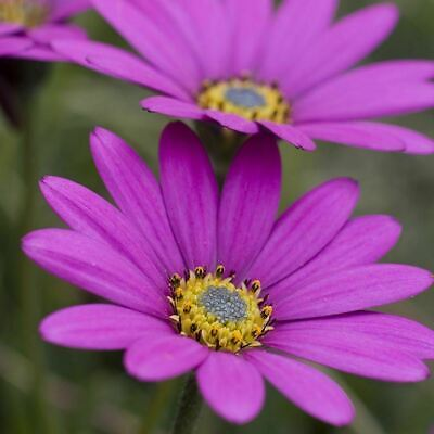 £10.95 • Buy Osteospermum 'In The Pink' PERENNIAL - 3 X XXL Plugs - FREE 1ST CLASS DELIVERY
