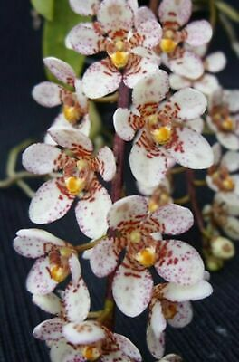 AU35 • Buy OoN Sarcochilus Clone 3355 Pixie Pearls 'Delightful' Orchid In SPIKE With 2 S...