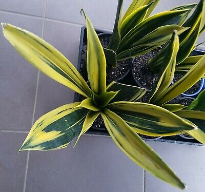 AU55 • Buy SANSEVIERIA GOLDEN FLAME_Large - Highly Variegated W/ Thick Golden Yellow, RARE