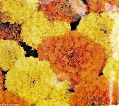 Marigold - African Crackerjack -  83 High Quality Flower Seeds • 0.99£