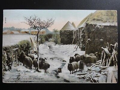 Country Life SHEEP A Shelter From The Storm C1905 By Hartmann 3704.3 Lincoln • 6£