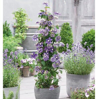 £15.99 • Buy Clematis Hardy Climbing Shrub Potted Plant Taiga 11cm Or 2L Nursery Pots T&M