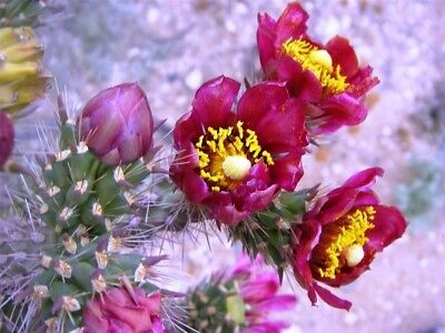 Cylindropuntia Spinosior - Spiny Cholla - 25 Seeds • 1.25£