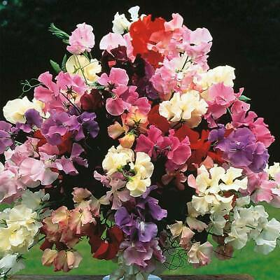 Sweet Pea Seeds Hardy Flower Garden Plant 'Floral Tribute' 1 Packet 40 Seeds T&M • 2.49£
