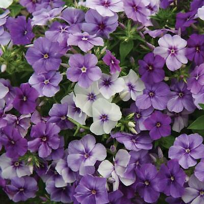 Phlox Half-Hardy Annual Flower Garden Plant 'Moody Blues' 1 Packet 175 Seeds T&M • 1.99£