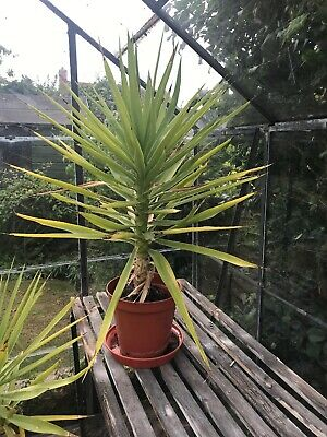 1 SPINELESS Medium YUCCA ELEPHANTIPE EVERGREEN INDOOR PLANT - POT 40 Inches Tall • 17.99£