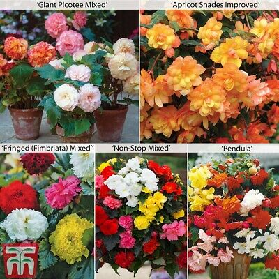 Begonia Collection Perennial Tuber Plants Half-Hardy 20, 40 Or 80 Tubers T&M • 8.99£