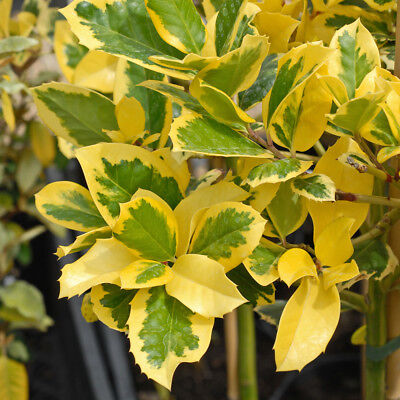 Holly Tree Ilex Hardy Berry Garden Plant 'Golden King' 9cm Potted Plants T&M • 14.99£