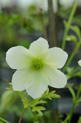 Clematis Cirrhosa X 'Early Sensation' • 9.50£