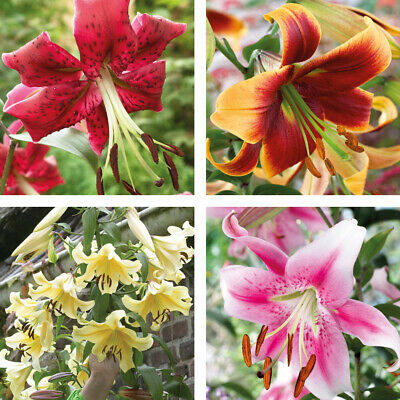 Towering Tree Lily Bulb Collection 4 Varieties Flower Plants 5 Pack Options T&M • 8.99£
