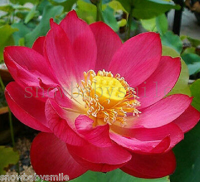 $ CDN1.30 • Buy 10PCS Red Lotus Seeds Water Lily Pad Nymphaea Nelumbo Nucifera Pond Plant Flower