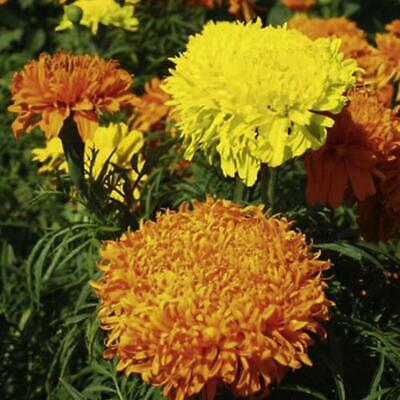 African Marigold Fantastic Mix - 1 Gram  300 Flower Seeds • 1.09£
