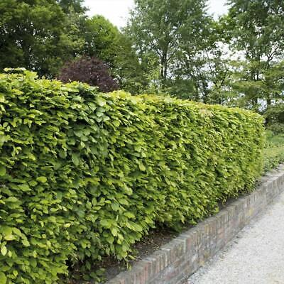 Beech Green Hedging Hardy Garden Hedge Plants 1, 10, 25, 50, 100 Bare Roots T&M • 29.99£