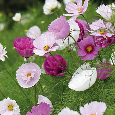 £1.99 • Buy Thompson & Morgan Cosmos Cupcakes & Saucer Seeds Garden Plants 1 Pack 50 Seeds