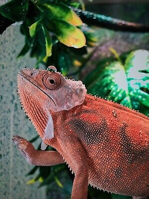 $510 • Buy Chameleon, Cage, Lights, Everything In Picture