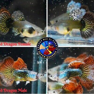 $30 • Buy 1 Pairs - Guppy Live Fish - 1 Male And 1 Female - Red Dragon