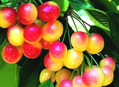Prunus Avium Cherry Tree SEEDS  Rainier ~Sweet Fruit Tree Seeds • 2.31£