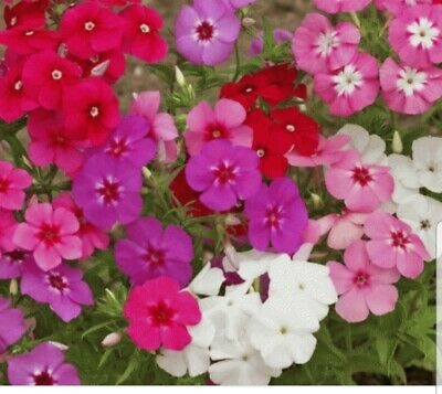 0.5g  Annual Phlox Mix Seeds Approx 300 Plants • 4.99£