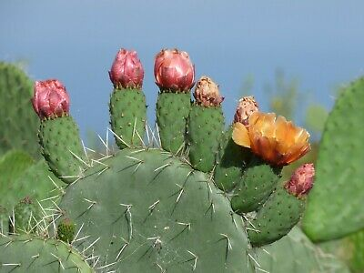 Cactus Opuntia Ficus-indica  One Huge Prickly Pear Pad, Will Flower And Fruit • 14.95£