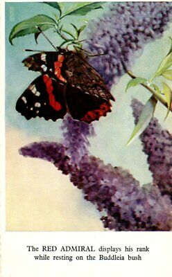 VINTAGE ART  Postcard:  BUTTERFLY - RED ADMIRAL ON BUDDLEIA BUSH • 0.99£