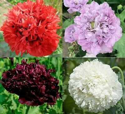 £1.99 • Buy 500 Mixed Tall Peony POPPY Lilac Candy Floss Red Black Easy Annual Plant Seeds