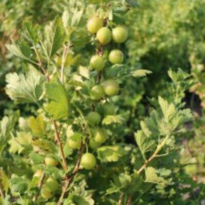 £11.99 • Buy T&M Gooseberry Giggles Green Garden Fruit Patio Hardy Shrub 9cm Potted Plant