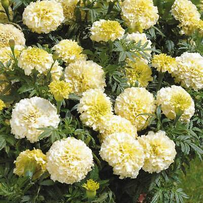 Marigold F1 Seeds Flowers Garden Plants 'French Vanilla' 1 Packet Of Seeds T&M • 1.99£